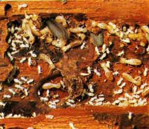 Foyer de termites